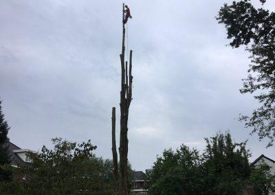 Rooien 3X 35 meter hoge Populieren